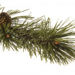 Stock Photo: Evergreen branch
