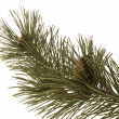 Evergreen branch - Stock Photo