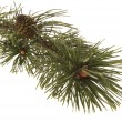 Evergreen branch — Stock Photo