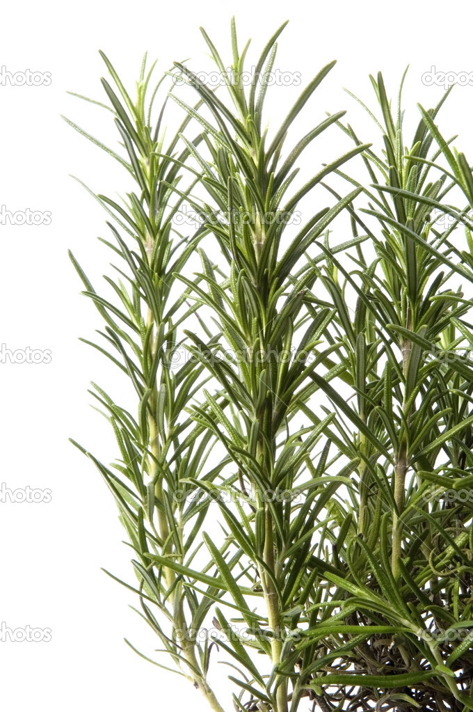 Growing rosemary isolated on the white background — Stock Photo #1778600