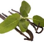 Fresh sage and vanilla beans — Stock Photo