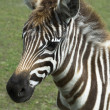 Zebra. animal — Stock Photo