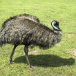 Emu. bird — Stock Photo