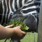 Zebra, child and green grass — Stock Photo