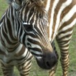Zebra. animal — Stock Photo #1789282