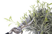 Pruning the plants — Stock Photo