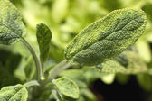 Fresh salvia — Stock Photo
