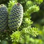 ramo di pino con cono — Foto Stock