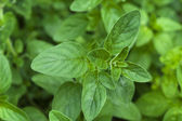 Growing herbs. mint — Stock Photo