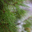 Rain drops on green pine needles wit — 图库照片