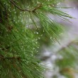 Rain drops on green pine needles wit — ストック写真