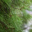 Rain drops on green pine needles wit — Stock Photo #1836295