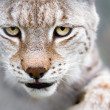 Lynx with focused eyes - Stock Photo