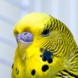 Stock Photo: Canary bird