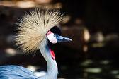 Grey crowned crane — Stock Photo