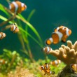 Royalty-Free Stock Photo: Clownfish