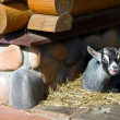 Small Goat — Stockfoto