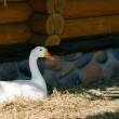 Domestic Goose - 2 — Foto de Stock