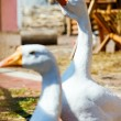 Two Geese — Stock Photo #1774473