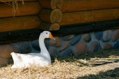 Domestic Goose - 2 — Stock Photo
