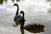 Black Swans — Stock Photo