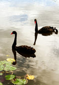 Two Black Swans — Stock Photo