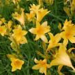 Stock Photo: Yellow lilies in green grass