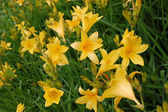 Yellow lilies in a green grass — Stock Photo