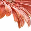 Stock Photo: Orange gerber daisy