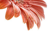 Orange gerber daisy — Stock Photo