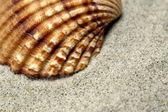 Sea Shell close-up — Stock Photo