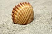 Красивая морская раковина — Стоковое фото