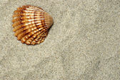 Sea Shell — Stock fotografie