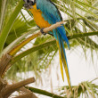 Gold And Blue Macaw on a palm tree — Stock Photo