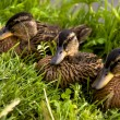 Three feathery ducklings — Stock Photo