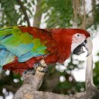 Scarlet Macaw — Photo #1773129