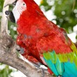 Scarlet Macaw — Stock Photo #1773148