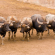 Stock Photo: Herd of bulls