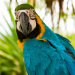 Stock Photo: Gold And Blue Macaw