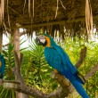Gold and Blue Macaws — Stock Photo