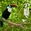 Toucan on branches — Foto de Stock