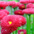 Bellis - Stock Photo