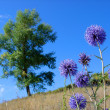 Stock Photo: Purple thistle