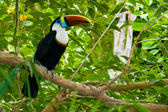 Toucan on branches — Stock Photo