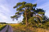 Branchy pine — Stock Photo