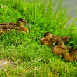 Family of ducklings on a green grass - Stock Photo