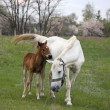 Mother Horse and Colt - Stock Photo