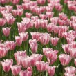Tulip background - Stock Photo