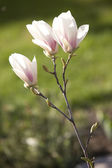 Magnolia flowers (Magnolia stellata) — Stock Photo