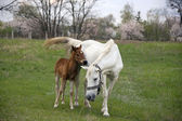 Mother Horse and Colt — Stock Photo